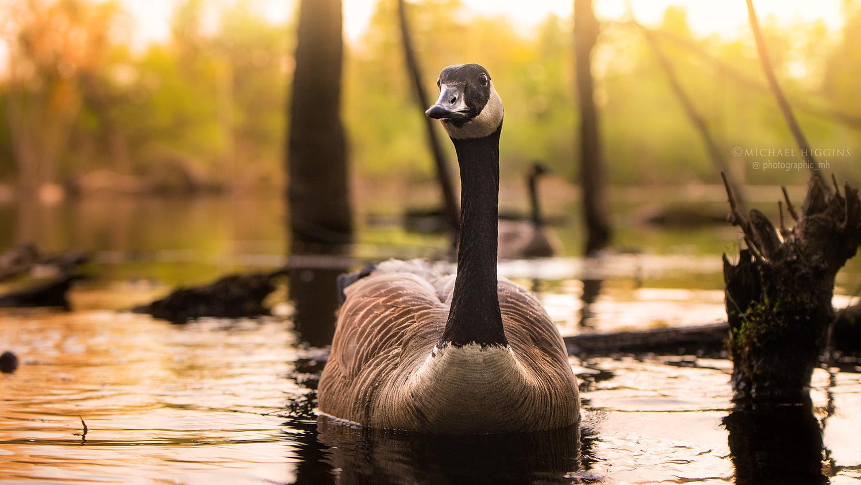 Good evening, goose by Michael Higgins