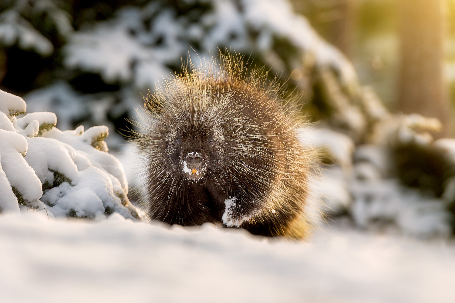 Alert porcupine by Michael Higgins