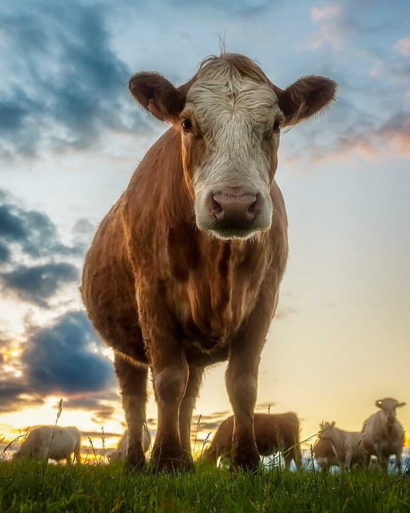 Good evening, cow. by Michael Higgins