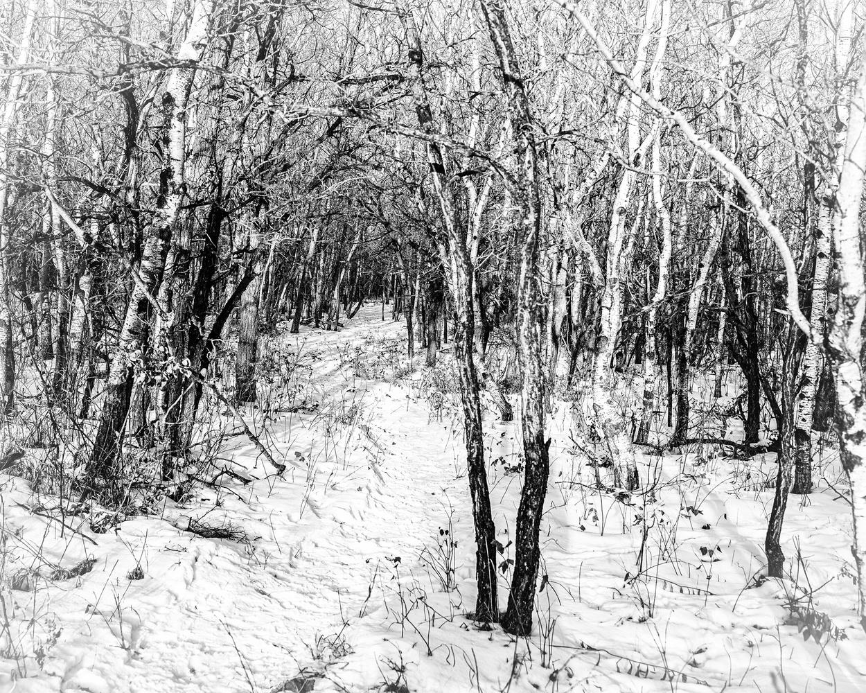 Birchwood by David Pavlich