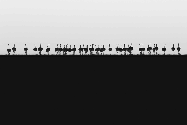 Ostrich Horizon by Philip Field