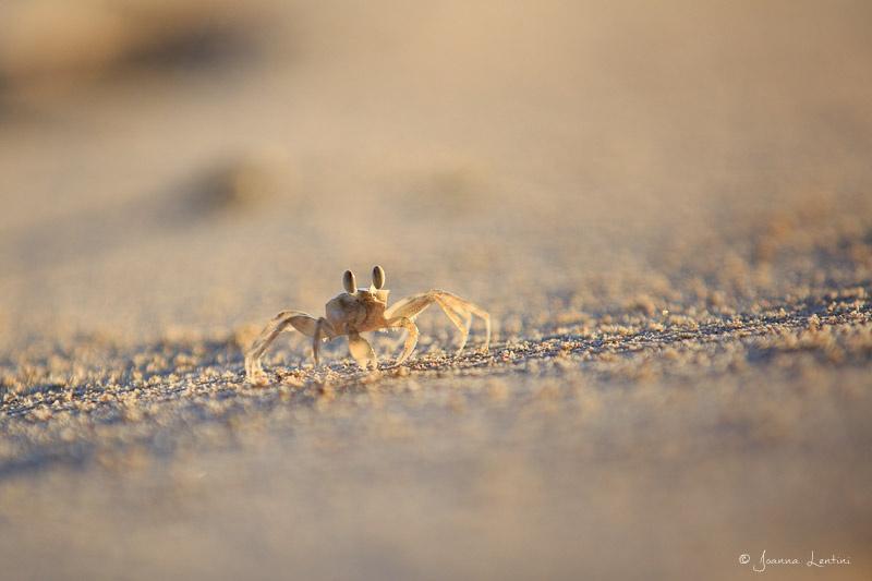Sand crab by Joanna Lentini