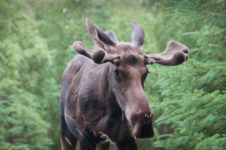 Moose by Thomas Dosik