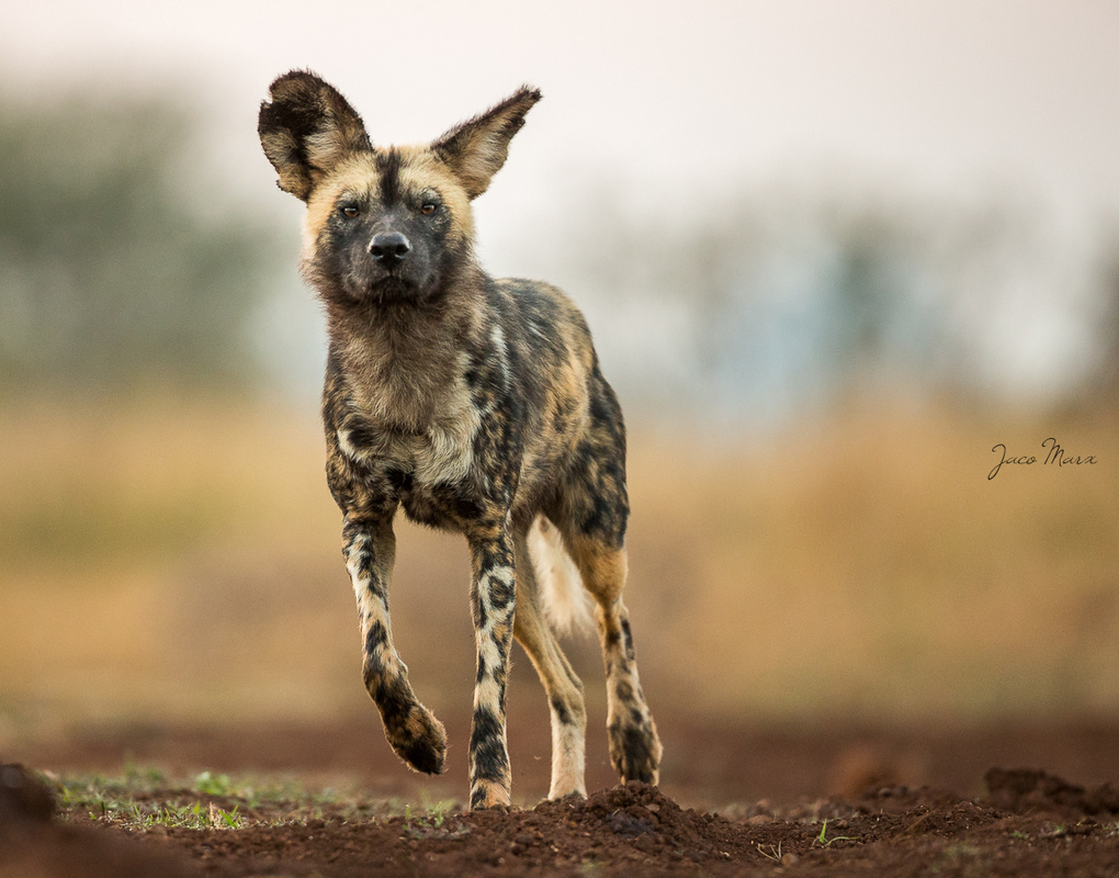 African Wild dog by Jaco Marx