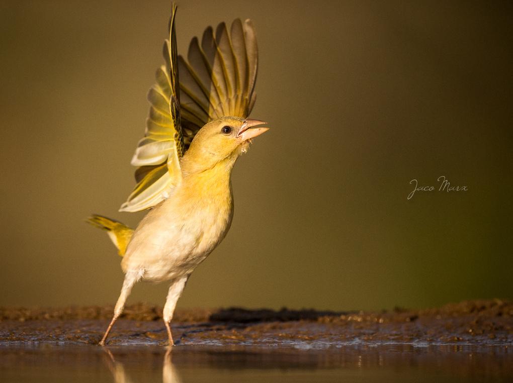 Wingtips by Jaco Marx