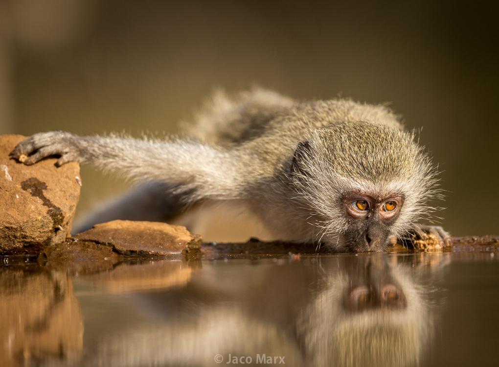 Thirsty Vervet by Jaco Marx