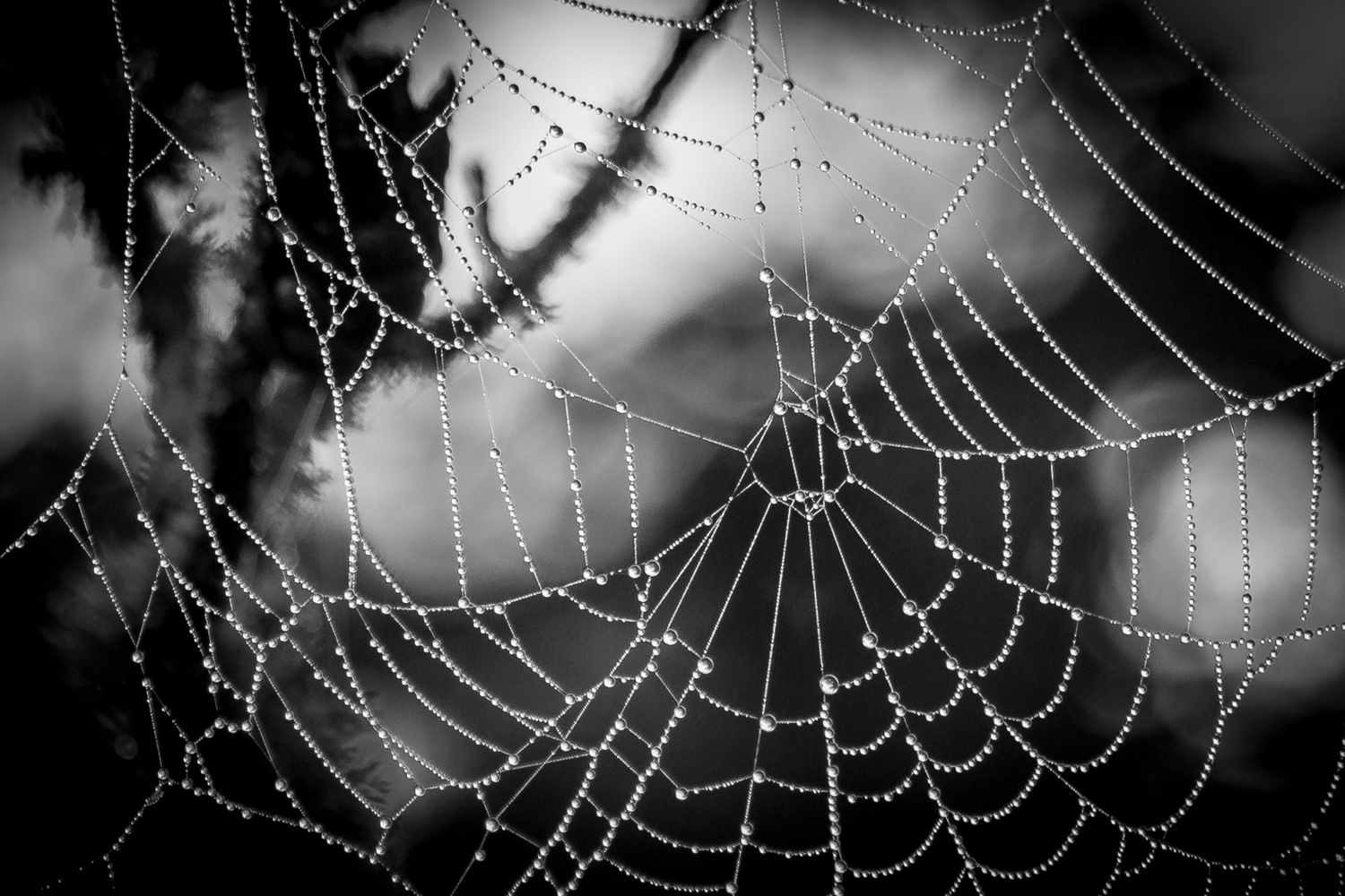 Spider Dew by Jerome Brill