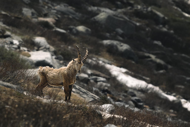 Alpine Ibex by Tim Schiphorst