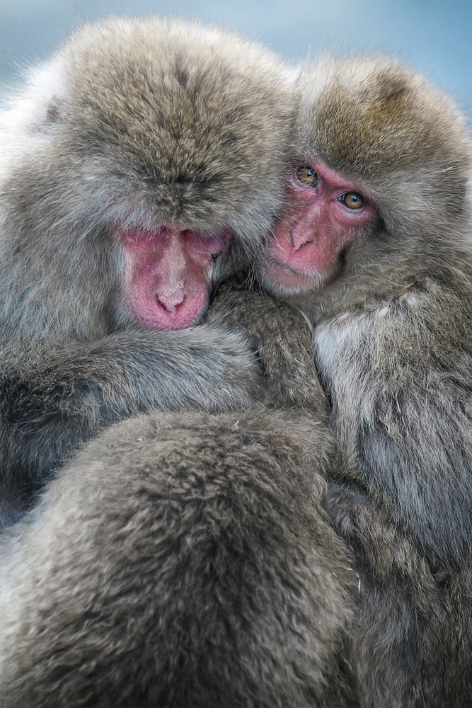 Snow Macaques in Japan by Tim Schiphorst