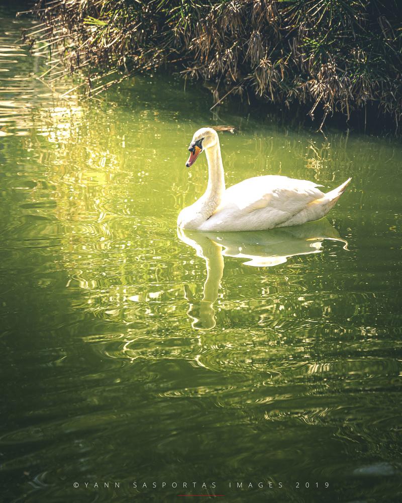 White Swan by Yann Sasportas