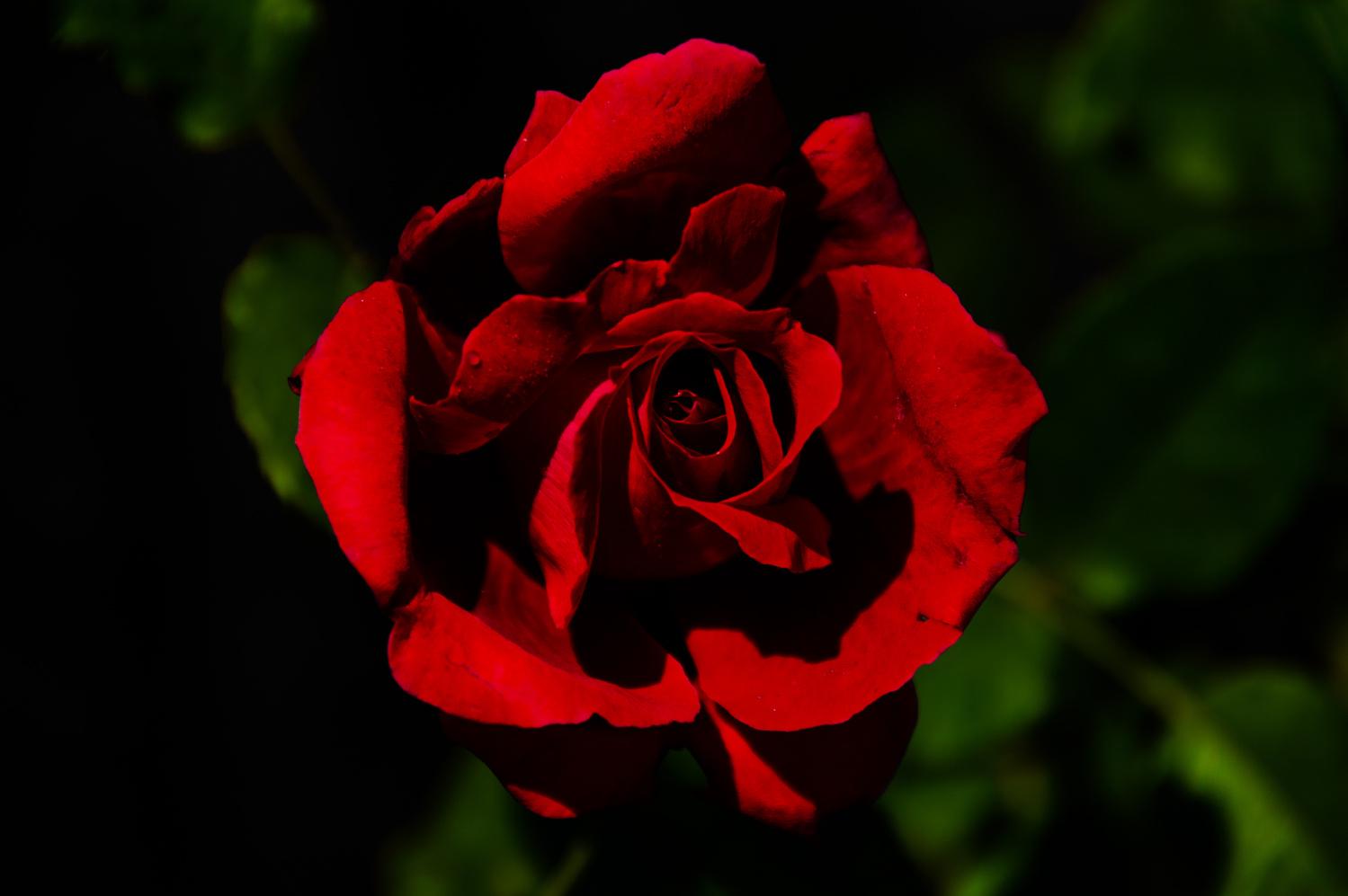 Rose by Jordi Jewell
