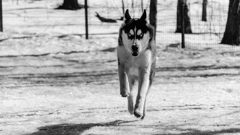Devil the dog by Joonatan Skyttä