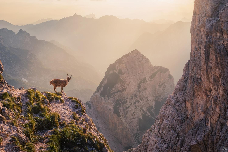 Alpine Ibex by Daniel Eichleitner