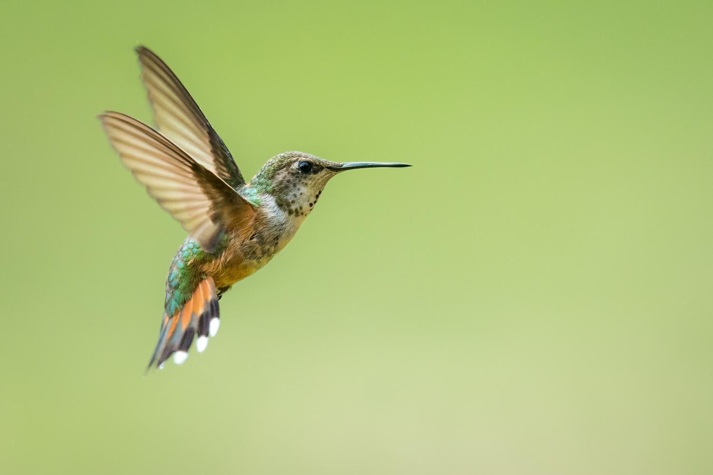 Rufous Hummingbird by Rhys Sharry