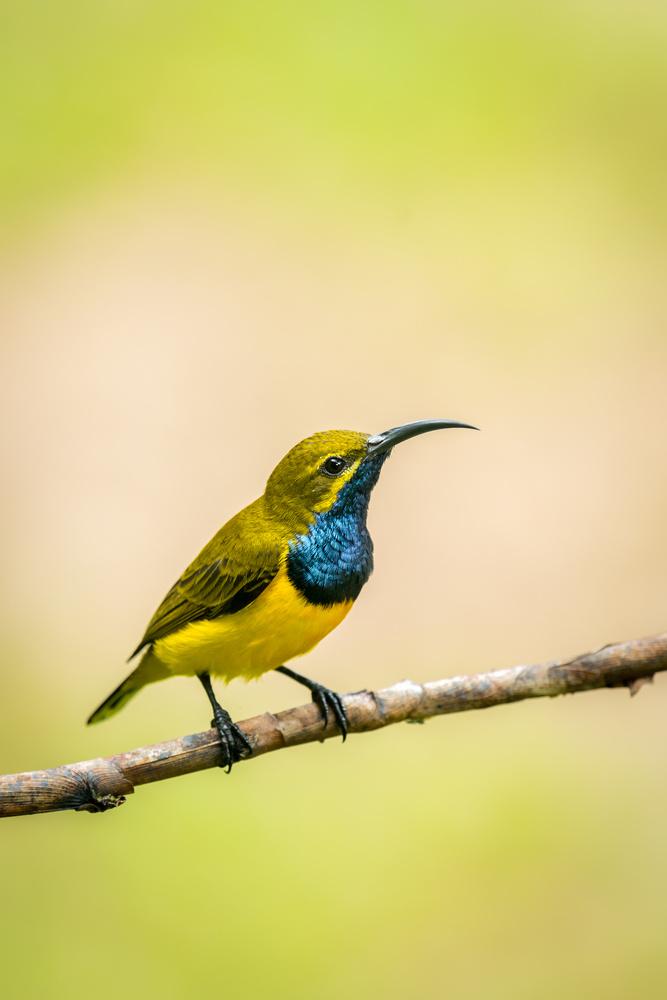 Olive-backed Sunbird by Rhys Sharry