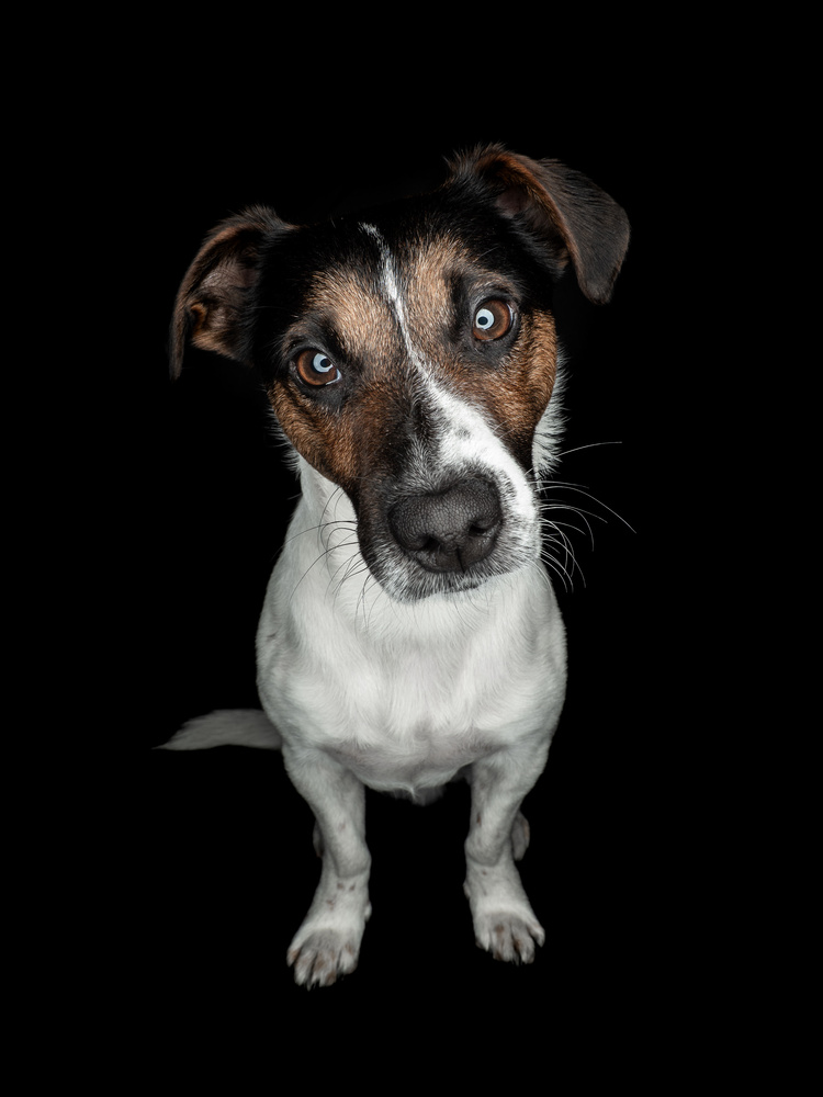 Buddy - Jcck Russell Terrier by tomas doe