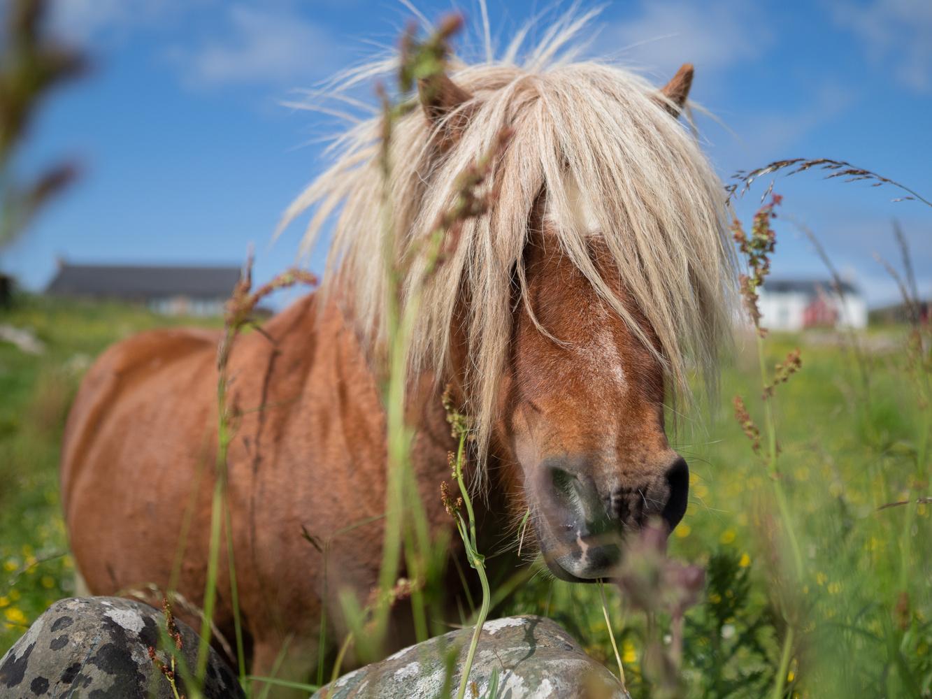 Shetland pony by Tomasz Kowalski