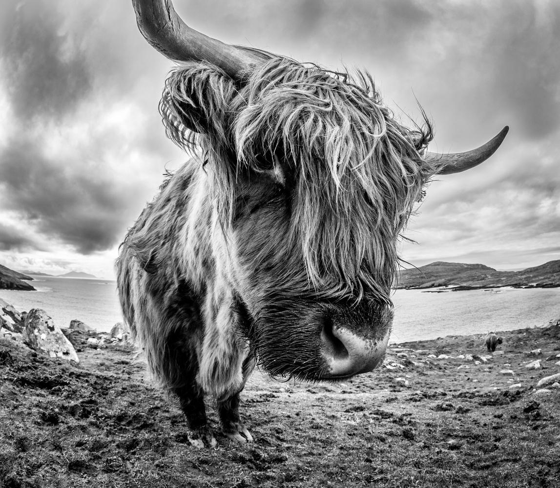 Demonic Scottish cow by Tomasz Kowalski