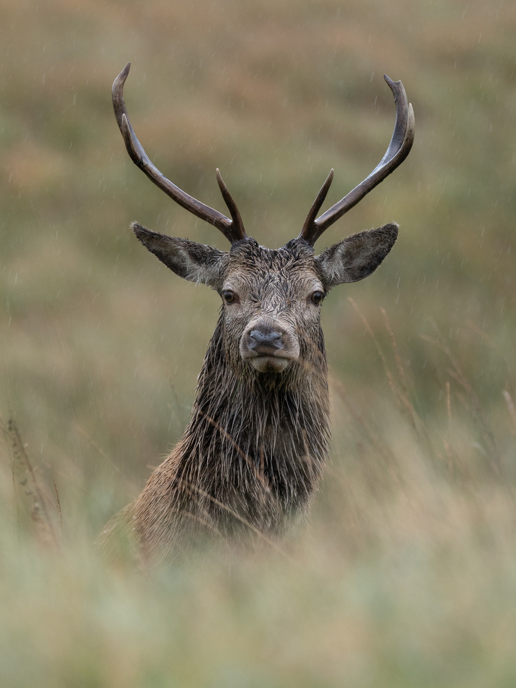 Deer by Tomasz Kowalski
