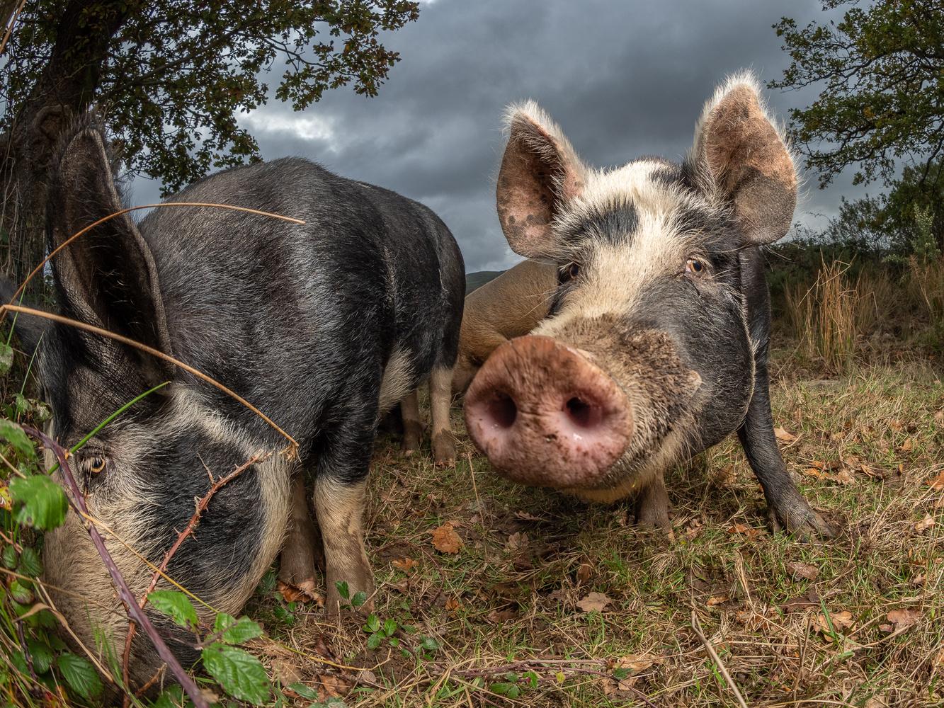 Welsh pigs by tomas doe