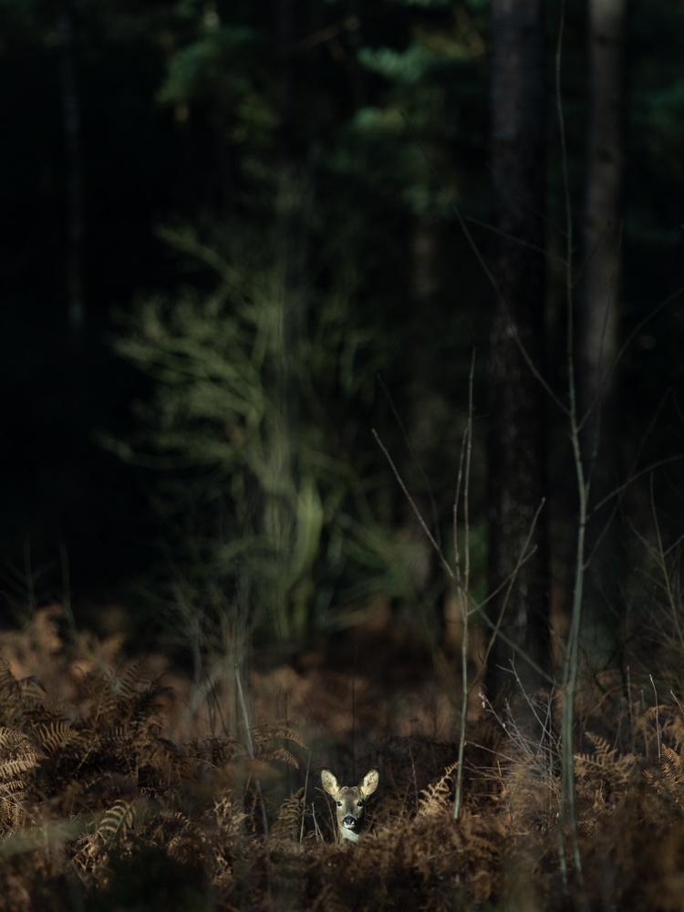 Headshoot of roe-deer by Tomasz Kowalski