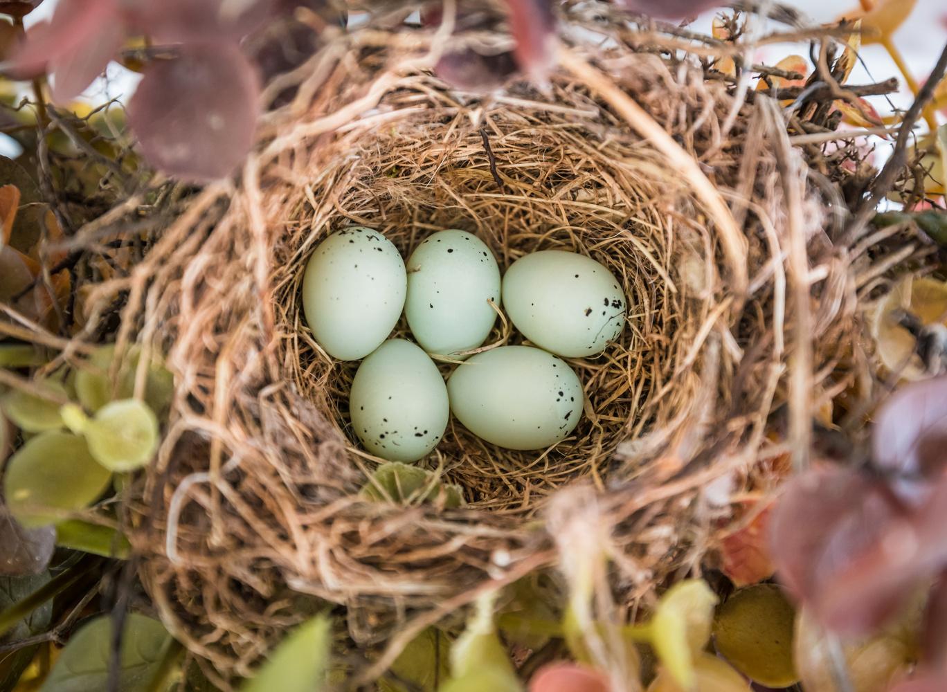 House Finch Nest by Ken Hilts