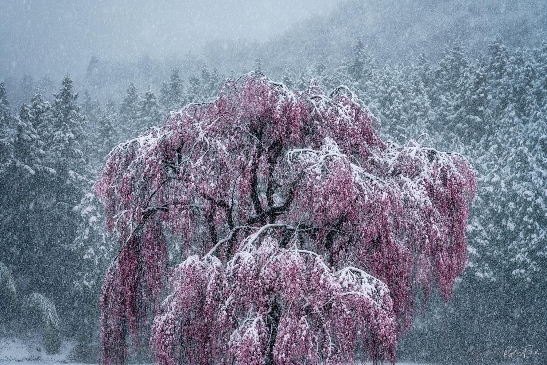 Snow blossom by Ryota Fukuda