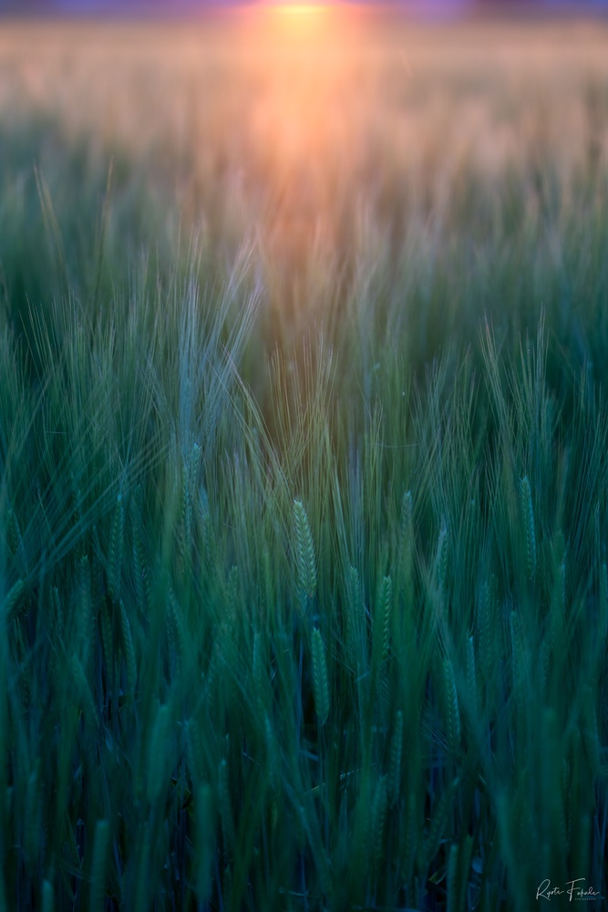 Wheat graph by Ryota Fukuda
