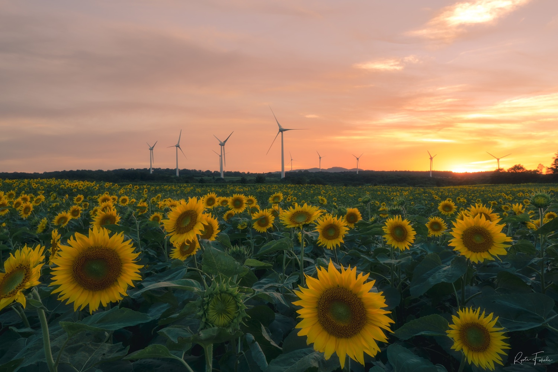 Sunset sunflower by Ryota Fukuda