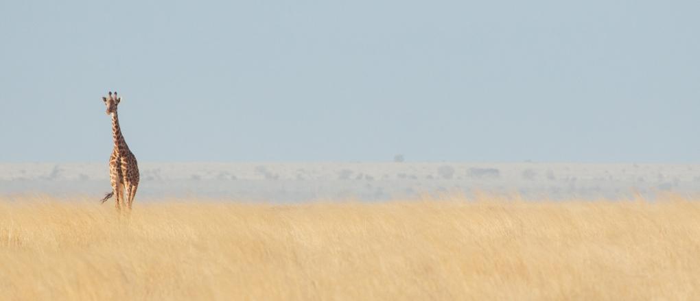 Masai Giraffe, Amboseli, Kenya by Richard Rhee
