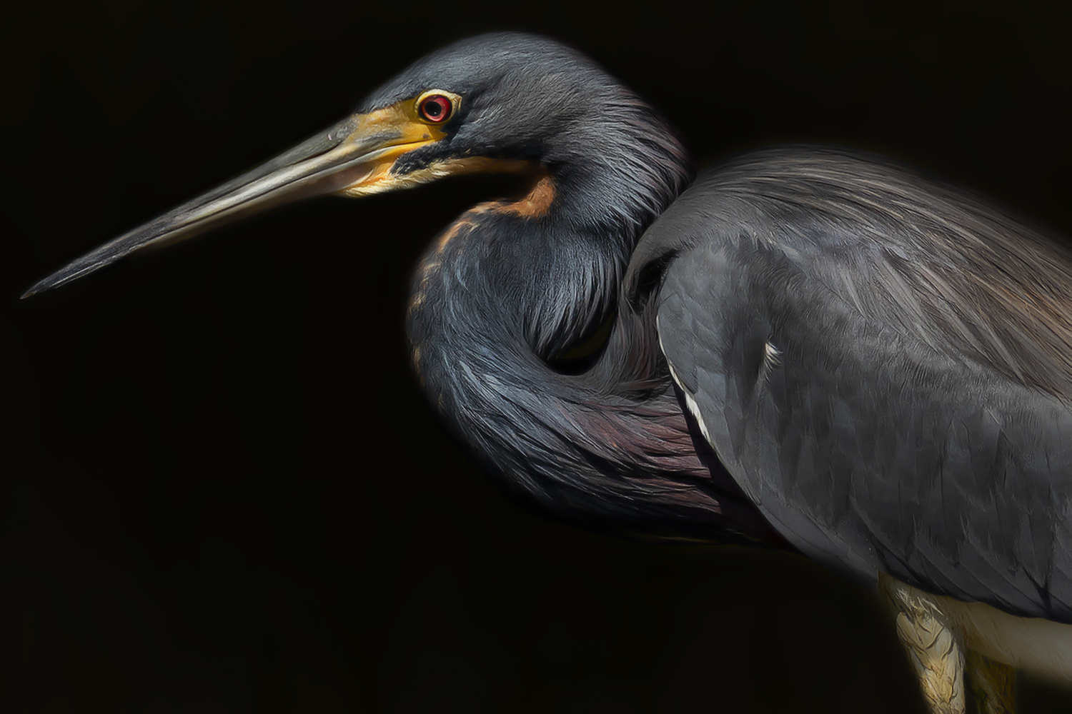 Tricolored Heron by David Boardman