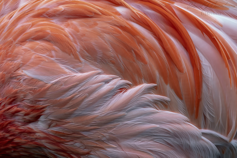 Flamingo Plumage by David Boardman