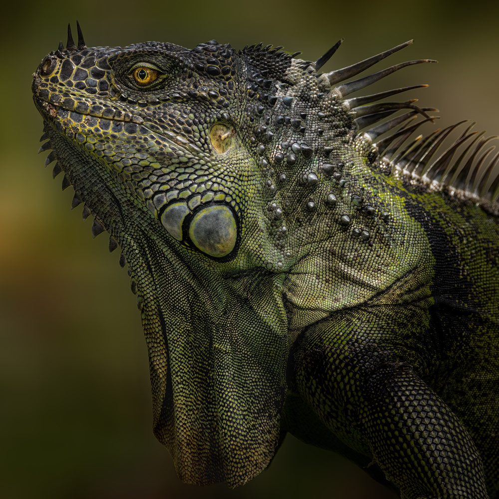 Giant Green Iguana by David Boardman
