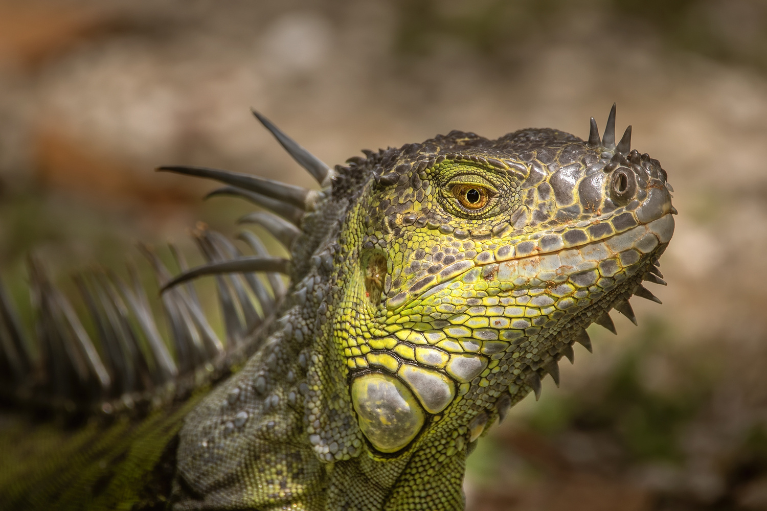Green Iguana by David Boardman