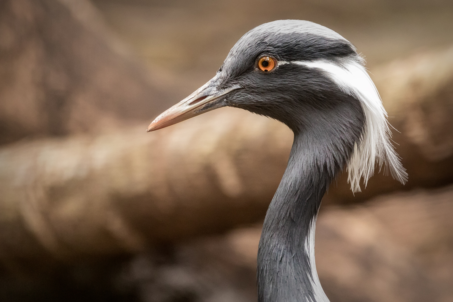 Demoiselle Crane by David Boardman
