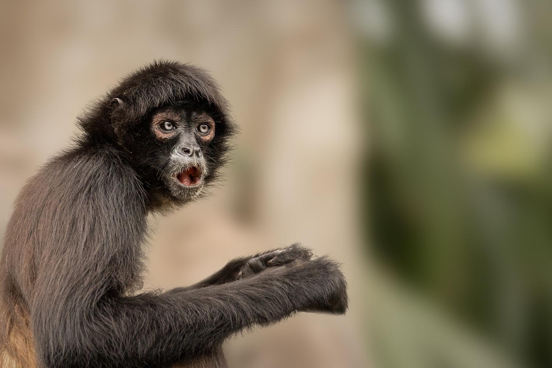 Mexican Spider Monkey by David Boardman