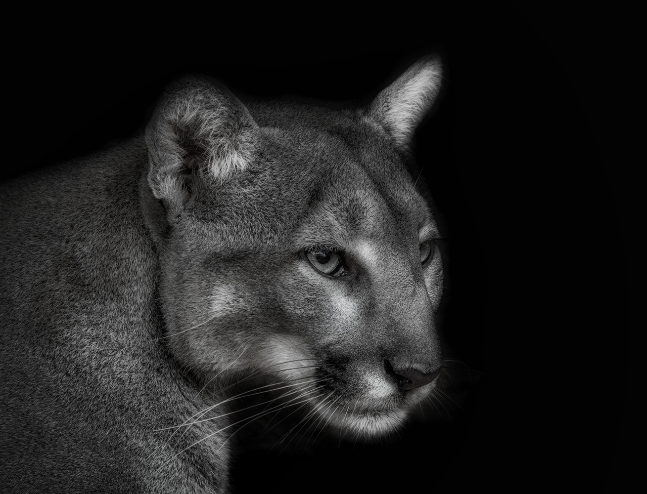 Cougar by David Boardman