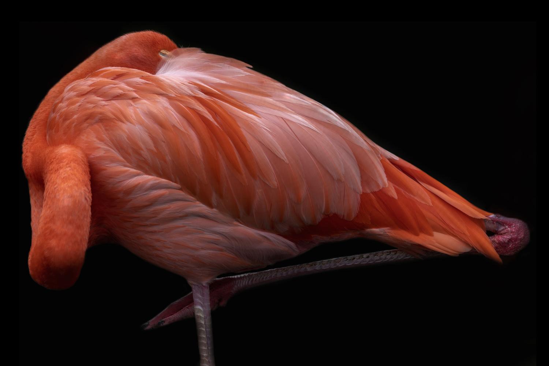 Sleeping Flamingo by David Boardman
