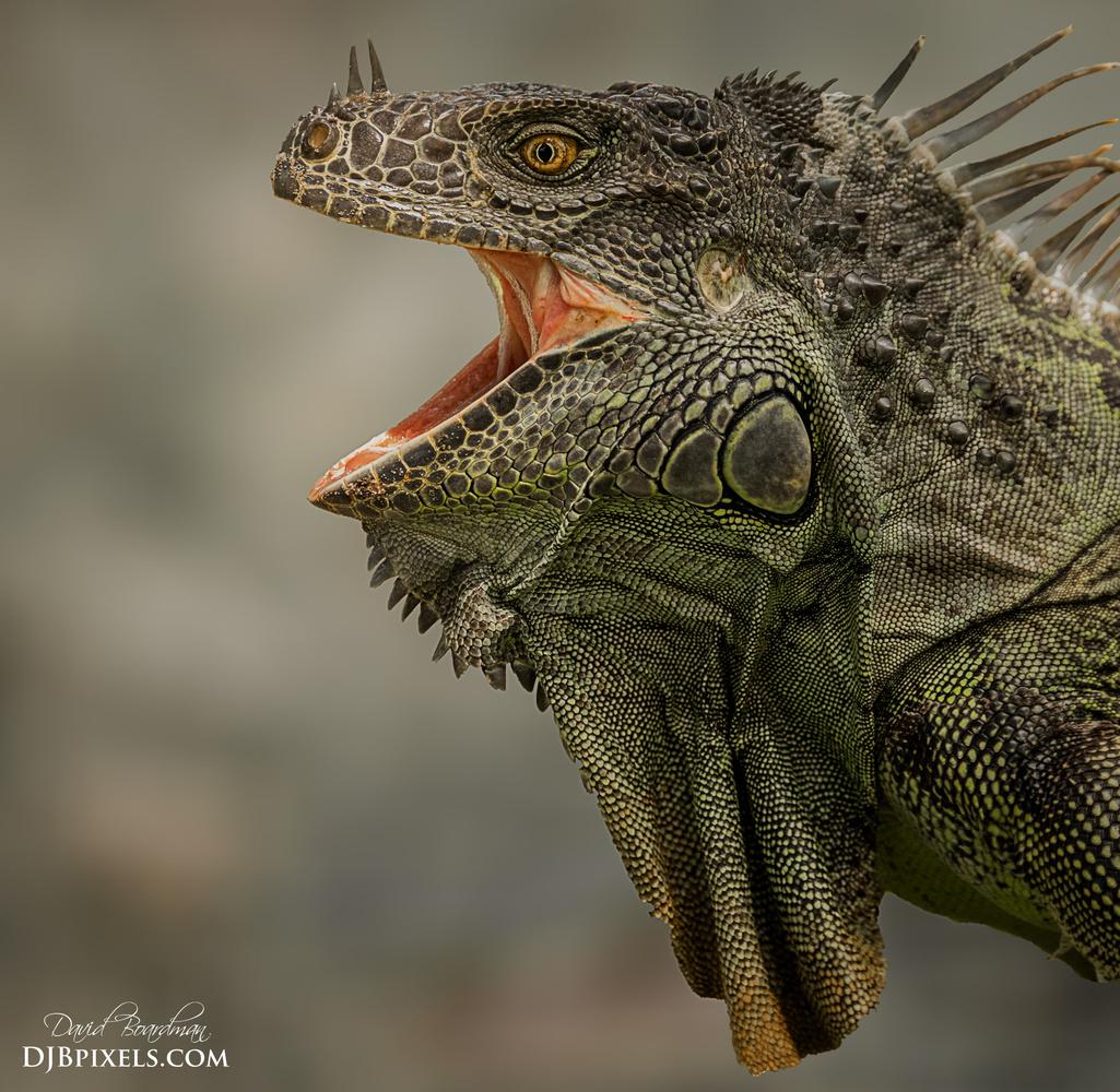 Green Iguana by David Boardman