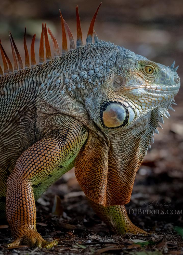 Green Iguana Headshot @ Wetlands by David Boardman