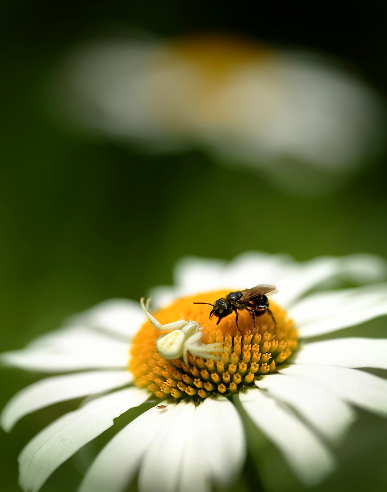 Spider vs. Bee by Peter Barta