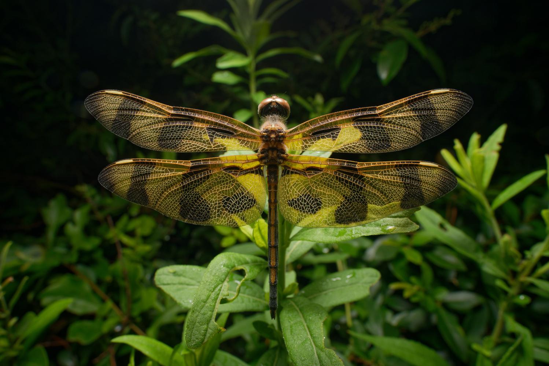 Halloween Pennant dragonfly by Josh Beasley