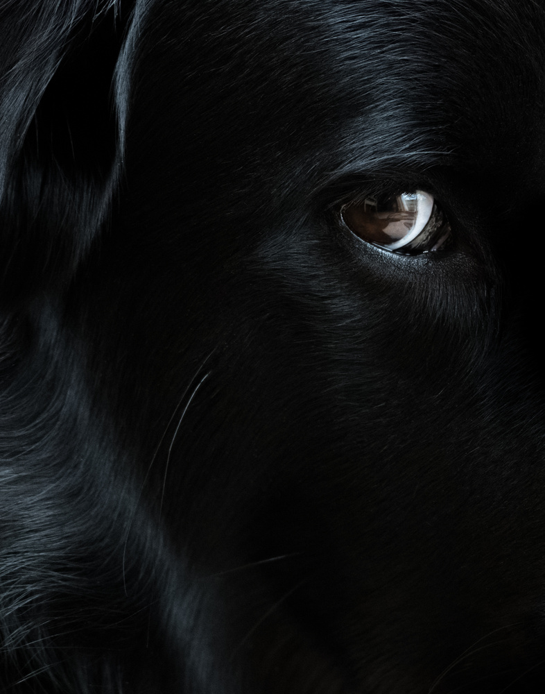 Close-up of our flat-coated retriever by Dick Blystone