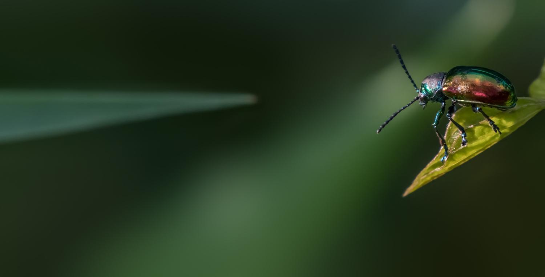 Metallic Beetle by Dick Blystone