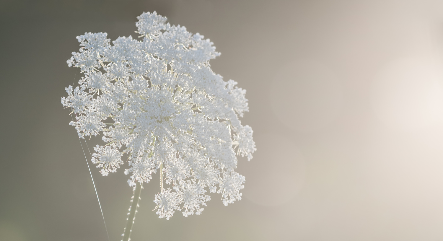 Queen Anne's Lace by Dick Blystone