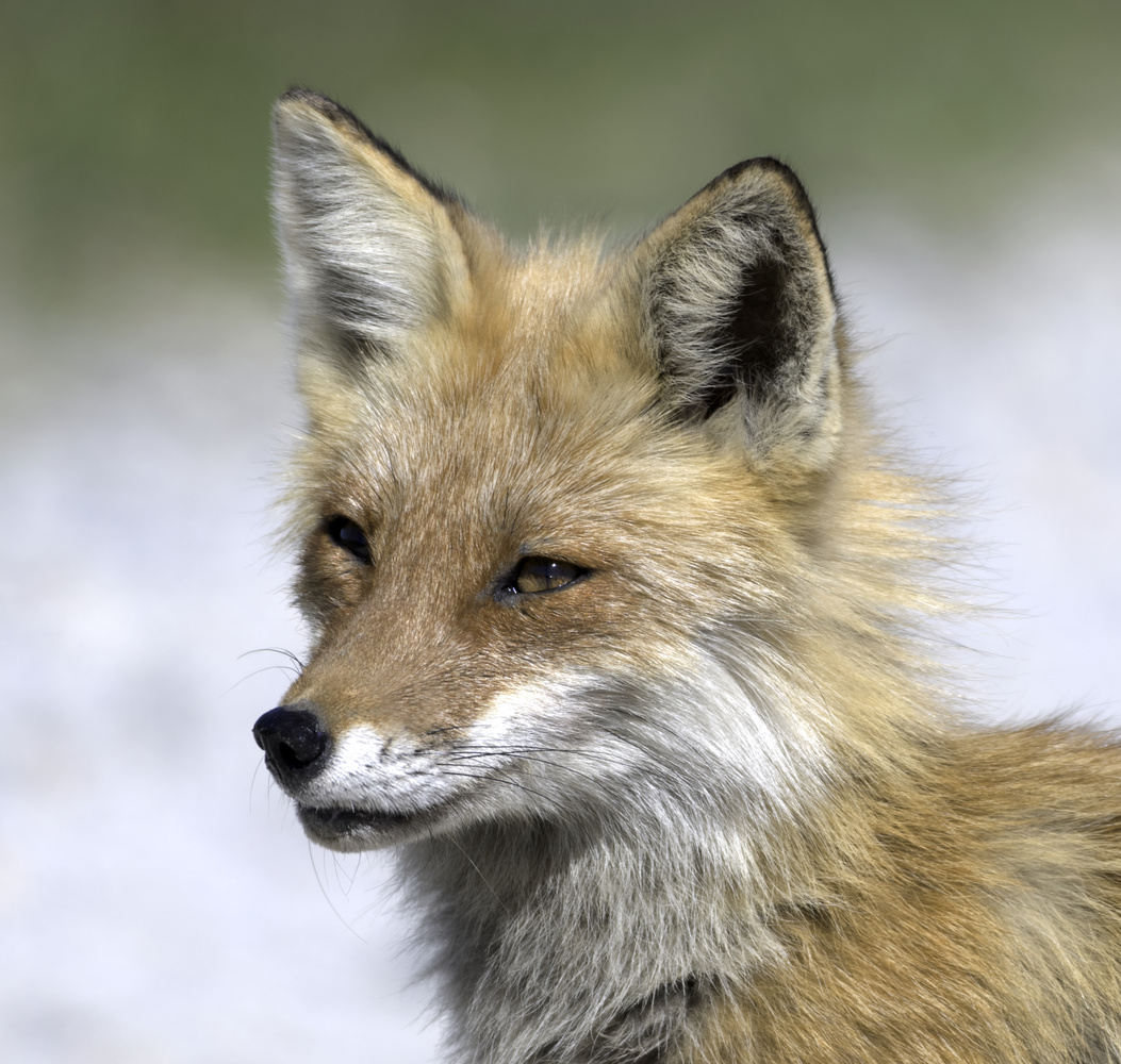 Red Fox at Bombay Hook, DE by Dick Blystone