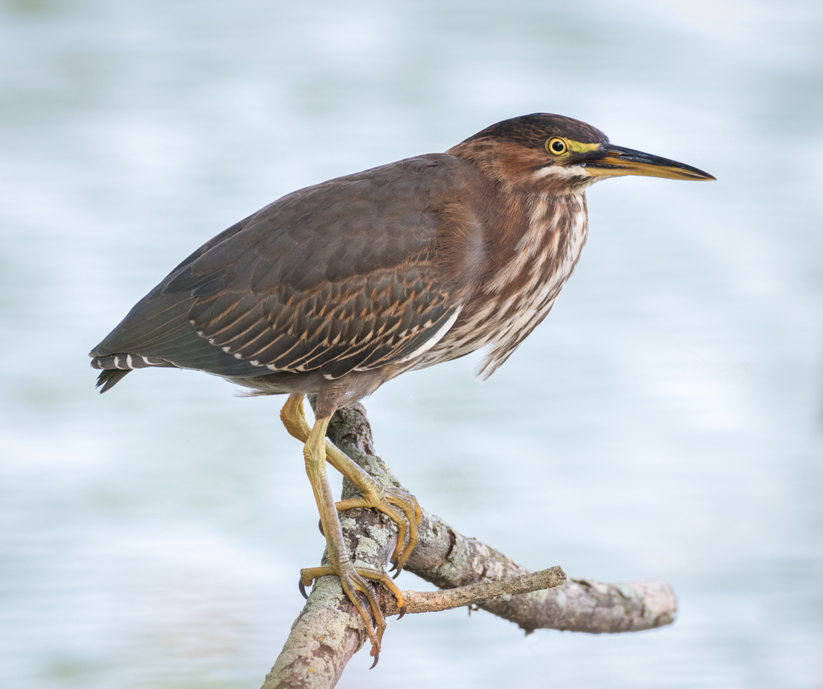 Green Heron on a branch by Dick Blystone