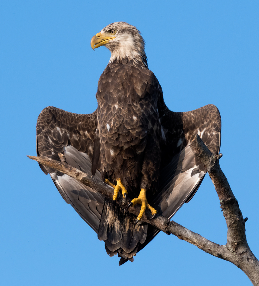 Young Bald Eagle drying off by Dick Blystone