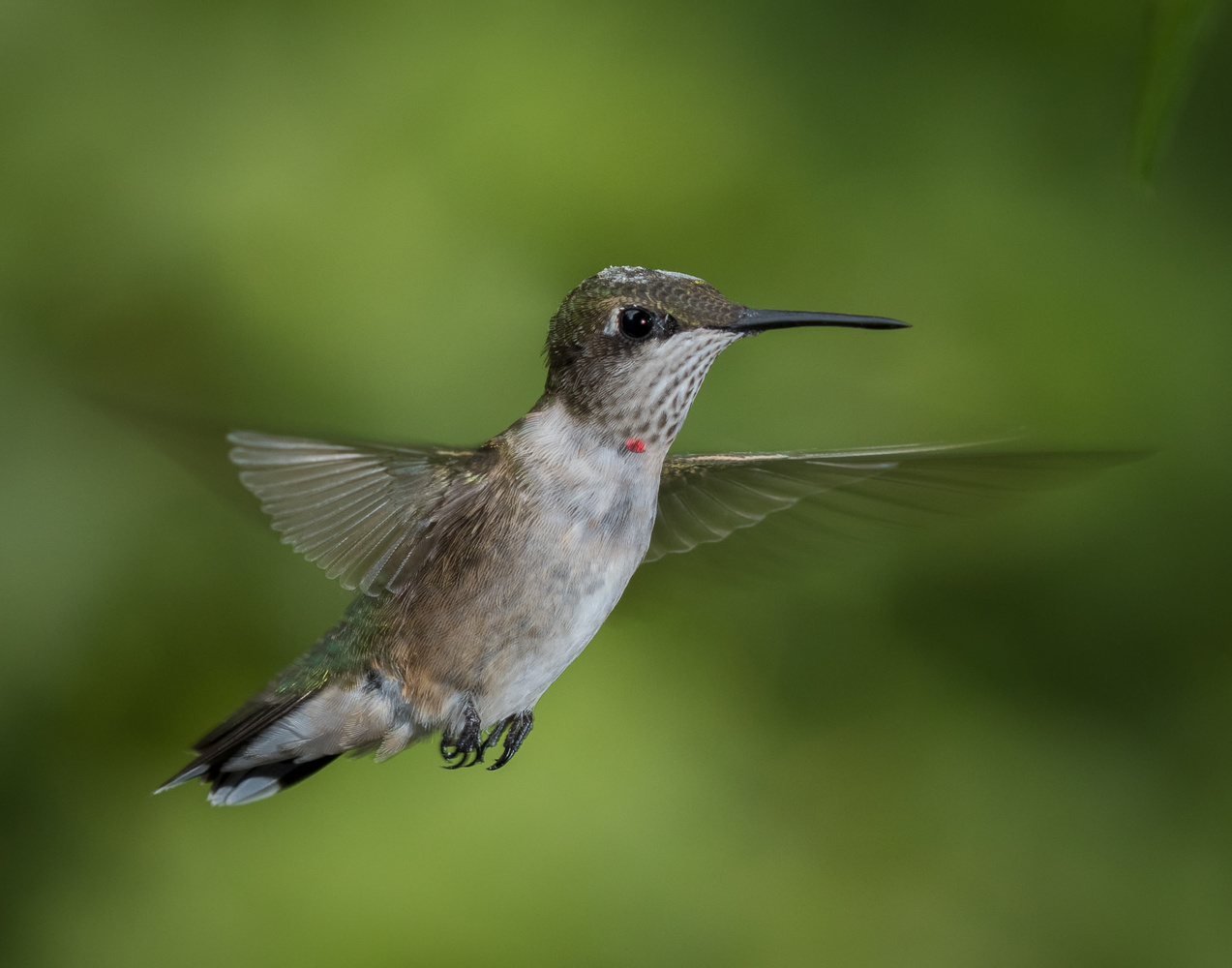 Young Male Ruby Throated Hummingbird by Dick Blystone