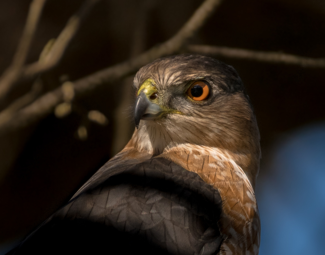 Coopers Hawk by Dick Blystone